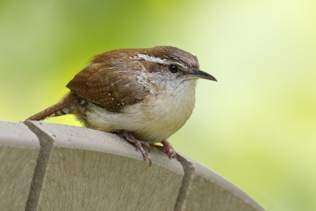thryothorus: Carolina Wren (Thryothorus ludovicianus) perched on the back of a chair - Grand Bend, Ontario