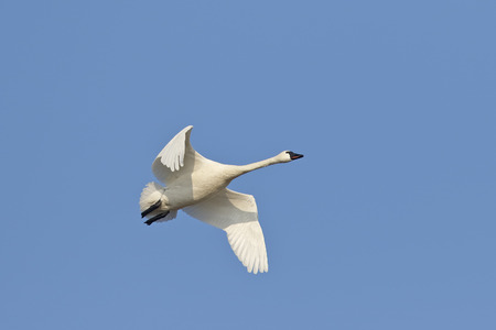Tundra Swan (Cygnus columbianus) Flying Against a Blue Sky During Spring Migration - Pinery Provincial Park, Ontario, Canada