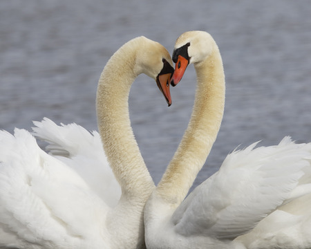 Pair of Mute Swans (Cygnus olor) - Kensington Metropark, Michigan Stock Photo