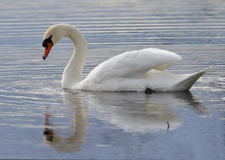 Mute Swan (Cygnus olor) swimming on a lake - Kensington Metropark, Michigan