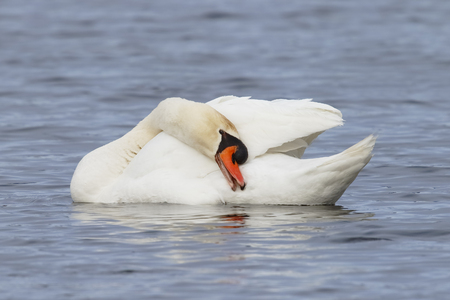Mute Swan (Cygnus olor) preening its feathers - Kensington Metropark, Michigan Stock Photo