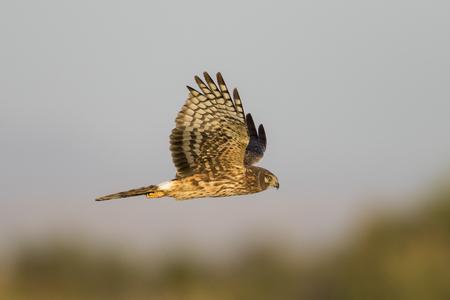Northern Harrier (Circus cyaneus) in flight hunting for prey - Salton Sea National Wildlife Refuge, California