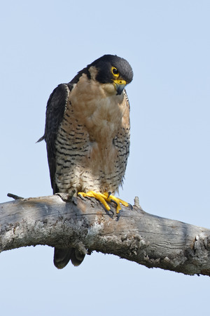 Peregrine Falcon (Falco peregrinus) perched in a tree - San Diego, California