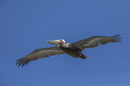 Brown Pelican (Pelecanus occidentalis) in flight - La Jolla, California