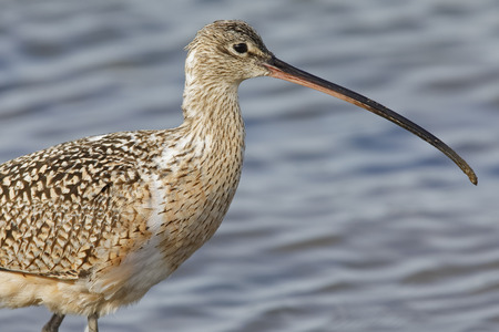 Closeup of a Long-billed Curlew (Numenius americanus) - Monterey Peninsula, California