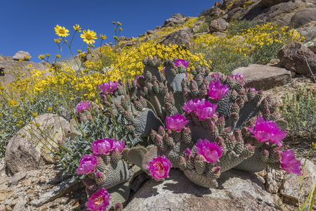 joshua tree national park: Beavertail Cactus and other wildflowers blooming  in the spring of 2017 in Joshua Tree National Park - California