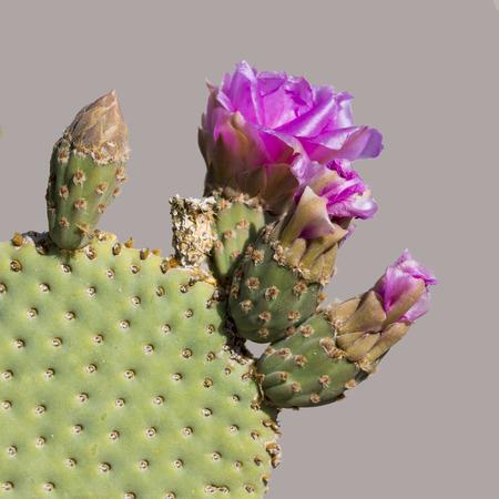 Closeup of a Beavertail Pricklypear Cactus (Opuntia basilaris) in flower - Anza Borrego State Park, California