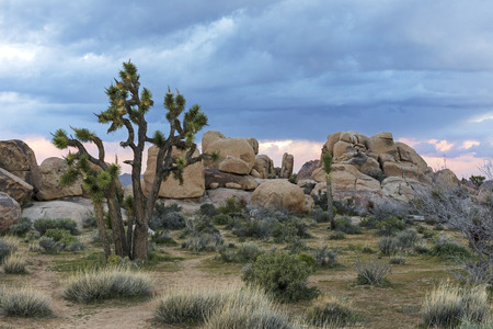 Joshua Trees (Yucca brevifolia) and Rock Formations in March under a cloudy sky - Joshua Tree National Park, California