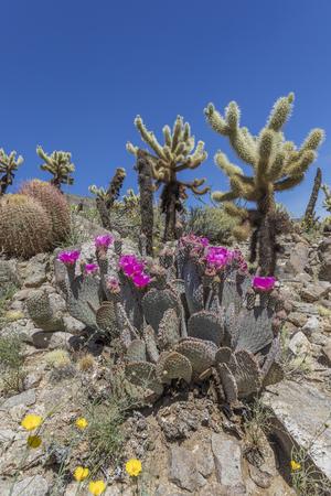 cholla: Beavertail Cacti, Barrel Cacti and Cholla Cacti blooming in spring - Anza-Borrego State Park, California