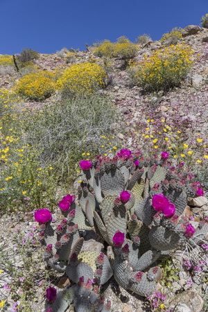 Cacti and Wildflowers Blooming in Spring - Anza-Borrego State Park, California