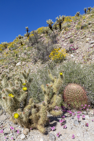 Cacti and Wildflowers blooming in the Mojave Desert - Anza-Borrego State Park, California