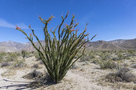 Ocotillo (Fouquieria splendens) flowering in the Mojave Desert - Anza-Borrego State Park, California