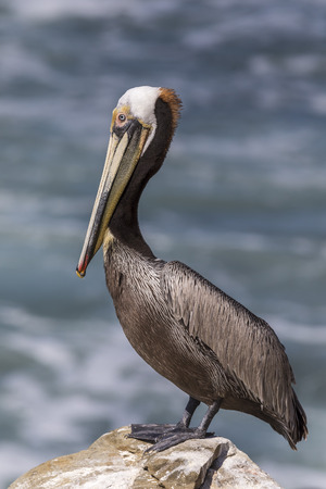 Brown Pelican (Pelecanus occidentalis) perched on a rock overlooking the Pacific Ocean - San Diego, California Stock Photo - 80677499