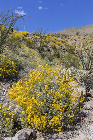 Wildflowers blooming in spring in the Mojave Desert - Anza-Borrego State Park, California
