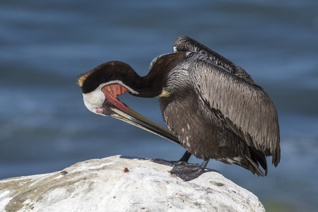 A Brown Pelican (Pelecanus occidentalis) in breeding plumage preens its feathers on a rock overlooking the Pacific Ocean - San Diego, California