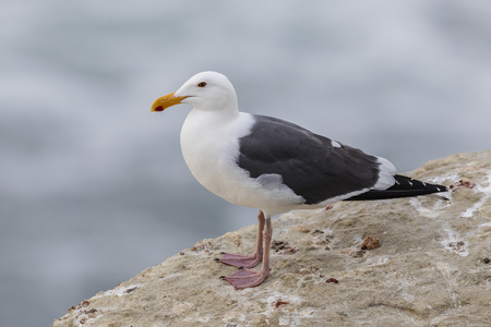 gray: California Gull (Larus californicus) perched on a cliff next to the Pacific Ocean - San Diego, California