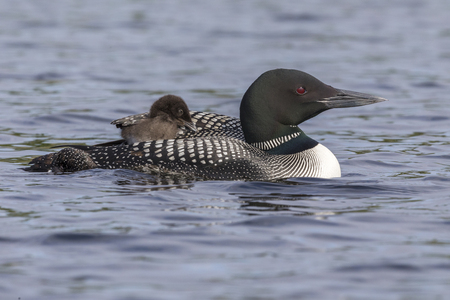 A week-old Common Loon chick (Gavia immer) is partially tucked under its mothers wing while riding on its mothers back - Ontario, Canada