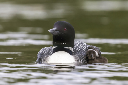 A Common Loon (Gavia immer) chick seeks cover under the wing of its mother - Haliburton Highlands, Ontario, Canada Imagens