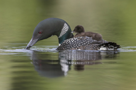A week-old Common Loon chick  rides on its mothers back on a Canadian lake as she scouts the water below Stock Photo