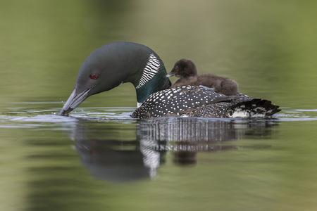 Een week oud Common Loon-kuiken rijdt op de rug van haar moeder op een Canadees meer terwijl ze het water eronder doorzoekt Stockfoto