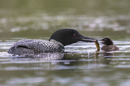 A week-old Common Loon chick (Gavia immer) is fed a fish by one of its parents - Haliburton Highlands, Ontario, Canada