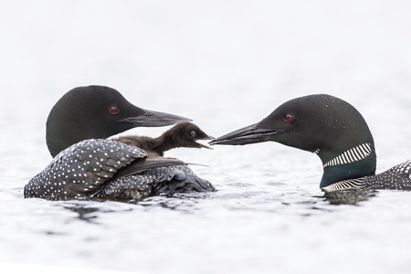 A week-old Common Loon chick (Gavia immer) emerges from under the protective cover of its mothers wing to be fed a small fish by its father - Haliburton Highlands, Ontario, Canada