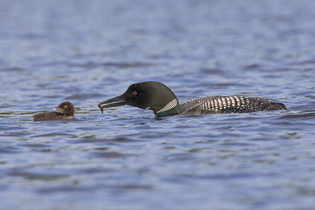 A Common Loon (Gavia immer) carries a freshly caught fish to its chick - Ontario, Canada