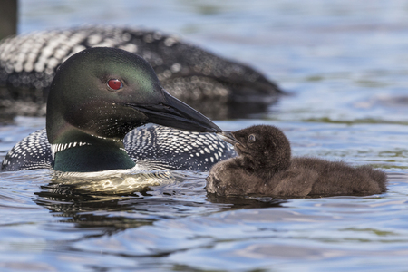 A week-old Common Loon chick (Gavia immer) touches bills with its parent - Ontario, Canada Imagens