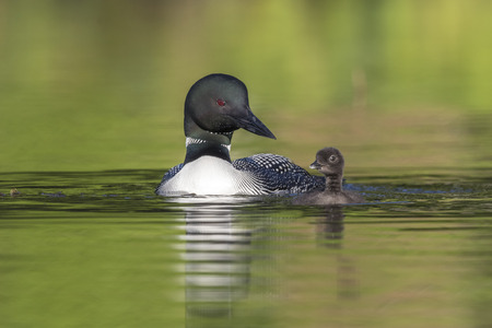 A week-old Common Loon chick (Gavia immer) practises its swimming skills under the watchful eye of its mother - Ontario, Canada