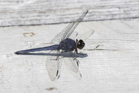 Male Slaty Skimmer (Libellula incesta) - Ontario, Canada Stock Photo