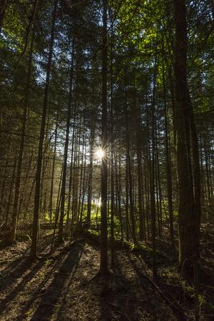 The morning sun bursts through a grove of balsam fir trees - Ontario, Canada