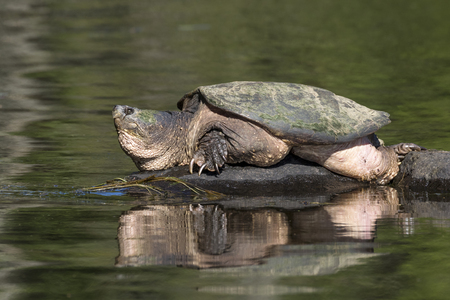 Large Common Snapping Turtle (Chelydra serpentina) basking on a rock - Haliburton, Ontario, Canada Фото со стока