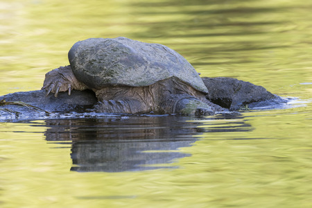 A large Common Snapping Turtle (Chelydra serpentina) slips into the water after basking on a rock - Haliburton, Ontario, Canada Imagens - 85452256