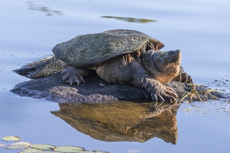 Large Common Snapping Turtle (Chelydra serpentina) basking on a rock - Haliburton, Ontario, Canada Imagens