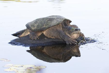 Large Common Snapping Turtle (Chelydra serpentina) basking on a rock - Haliburton, Ontario, Canada Imagens