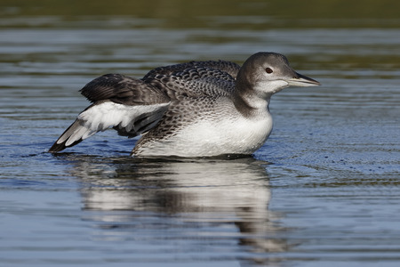 A two-month old Common Loon chick (Gavia immer) flaps its wings after preening in late summer - Haliburton, Ontario, Canada