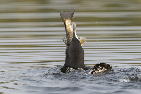 Common Loon (Gavia immer) swallowing a huge White Sucker in late summer - Haliburton, Ontario, Canada Stock Photo