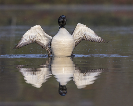 A Common Loon (Gavia immer) in partial molt flaps its wings after preening in late summer - Haliburton, Ontario, Canada Stock Photo