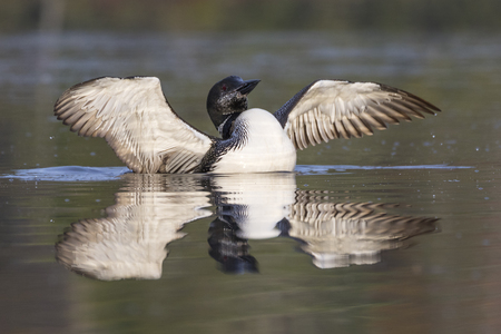 A Common Loon (Gavia immer) in partial molt flaps its wings after preening in late summer - Haliburton, Ontario, Canada Imagens