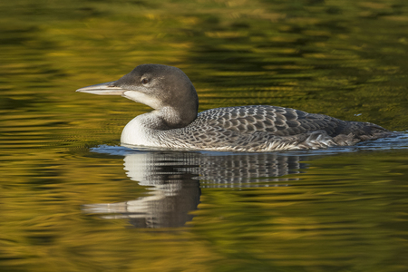 A two-month old Common Loon chick (Gavia immer) and its reflection in the water in late summer - Haliburton, Ontario, Canada