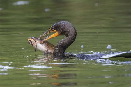 Double-crested Cormorant (Phalacrocorax auritus) preparing to swallow a large Brown Bullhead - Pinery Provincial Park, Ontario, Canada