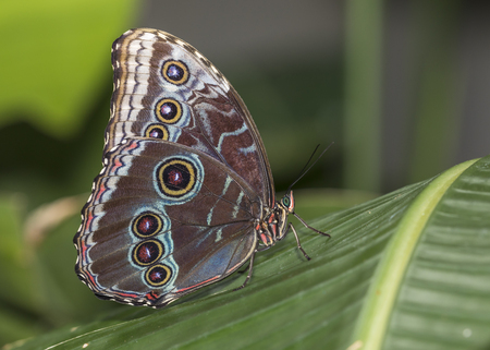 The Blue Morpho (Morpho peleides) is a butterfly native to Central and South America. Stock Photo