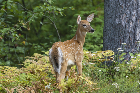 whitetailed: A White-tailed Deer fawn (Odocoileus virginianus) pauses to look over its shoulder in a forest clearing - Ontario, Canada Stock Photo