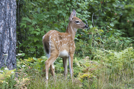 A White-tailed Deer fawn (Odocoileus virginianus) pauses in a forest clearing in summer - Ontario, Canada Stock Photo