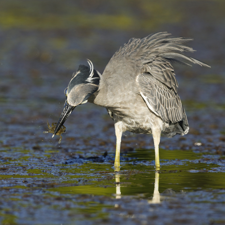 Yellow-crowned Night Heron (Nyctanassa violacea) eating a crab in a Florida lagoon - St. Petersburg Stock Photo