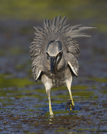A Yellow-crowned Night Heron (Nyctanassa violacea) in breeding plumage hunts for crabs in a lagoon - St. Petersburg, Florida
