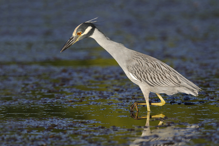 Yellow-crowned Night Heron (Nyctanassa violacea) hunting for crabs in a Florida lagoon - St. Petersburg Stock Photo