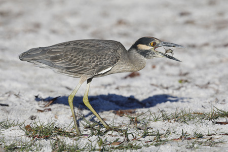 Yellow-crowned Night Heron (Nyctanassa violacea) eating a crab on a Florida beach - St. Petersburg Stock Photo