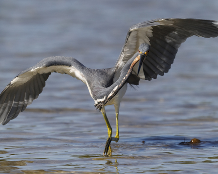 Tricolored Heron (Egretta tricolor) stalking its prey - St. Petersburg, Florida Stock Photo