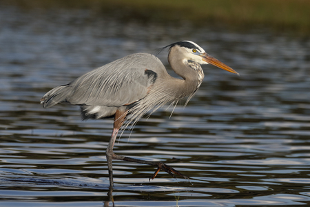 Great Blue Heron (Ardea herodias) wading in a shallow Florida pond
